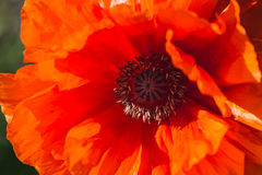 Fleur rouge de pavot Photo stock
