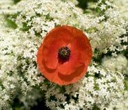 Fleur rouge de pavot Images libres de droits