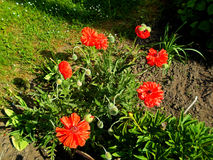 Fleur rouge de pavot Photos stock