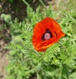 Fleur rouge de pavot Photos libres de droits