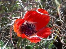 Fleur rouge de pavot au printemps Images stock
