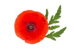 Fleur rouge de pavot d'isolement sur le blanc Images libres de droits