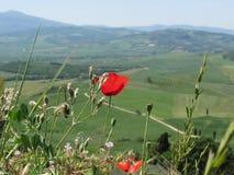 Fleur rouge de pavot dans la campagne de la Toscane avec Rolling Hills Image libre de droits