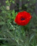 Fleur rouge de pavot dans le jardin Image libre de droits