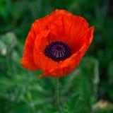 Fleur rouge de pavot dans le jardin Photos libres de droits