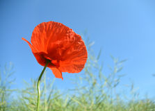 Fleur rouge de pavot dans un domaine de blé vert Photographie stock