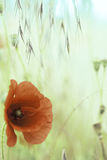 Fleur rouge de pavot de pavot Image libre de droits