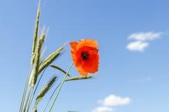Fleur rouge de pavot et de récolte verte sous le ciel bleu Photo libre de droits