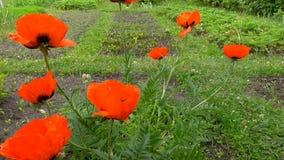 Fleur rouge de pavots dans le jardin banque de vidéos