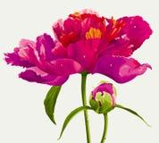 Fleur rouge de pivoine Photos libres de droits
