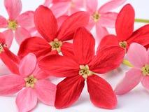 Fleur rouge de plante grimpante de Rangoon sur le fond blanc Image libre de droits