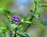 Fleur rouge de poivre de fourmi et de piment Image stock