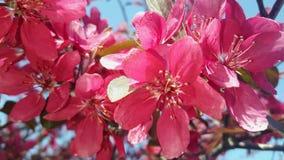 Fleur rouge de pomme Photographie stock