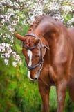 Fleur rouge de portrait de cheval au printemps Images stock