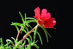 Fleur rouge de pourpier Photo stock