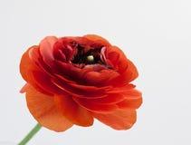 Fleur rouge de Rananunculs sur le blanc Photo stock