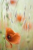 Fleur rouge de ressort de pavot Images libres de droits