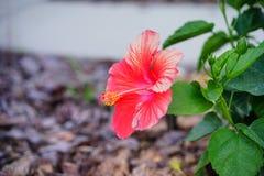 Fleur rouge de rosa-sinensis de ketmie Photo stock