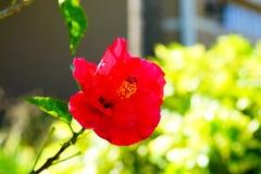 Fleur rouge de rosa-sinensis de ketmie Photo libre de droits