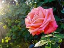 Fleur rouge de Rose sous des rayons du soleil Photographie stock
