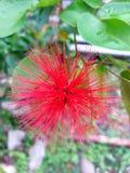 Fleur rouge de souffle de poudre de Dwaft Image libre de droits