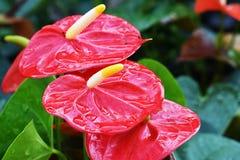 Fleur rouge de spadix en parc pour le fond de tache floue Image libre de droits