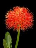 Fleur rouge de sphère Photo stock
