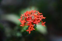Fleur rouge de transitoire photos stock