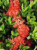 Fleur rouge de transitoire photo stock