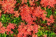 Fleur rouge de transitoire images libres de droits