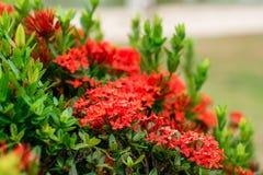 Fleur rouge de transitoire image stock