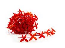 Fleur rouge de transitoire d'isolement sur le fond blanc images stock