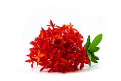 Fleur rouge de transitoire d'isolement sur le fond blanc images libres de droits