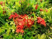 Fleur rouge de transitoire sur les feuilles vertes Image stock