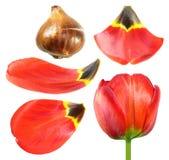 Fleur rouge de tulipe avec l'ampoule de tulipe et plan rapproché de pétales d'isolement sur le blanc photographie stock
