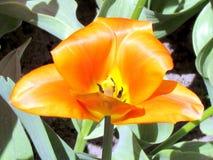 Fleur rouge 2013 de tulipe de jardin de Toronto belle Photo stock