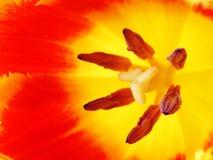 Fleur rouge de tulipe, macro I Image libre de droits