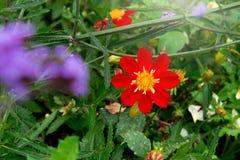 Fleur rouge de zinnia Images libres de droits