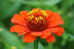 Fleur rouge de Zinnia avec quelques pétales Photos libres de droits