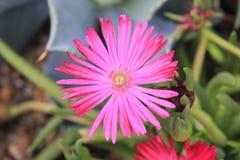 Fleur rouge des espèces de psammophytes Image stock