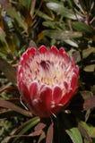 Fleur rouge du Roi Protea Photos stock