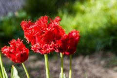 Fleur rouge en été ou ressort avec le fond mou vert Photographie stock libre de droits