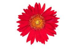 Fleur rouge en fleur Photos libres de droits
