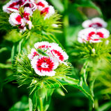 Fleur rouge et blanche d'été Drummondii de phlox fleurissant dans le jardin Image stock