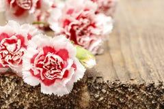 Fleur rouge et blanche doeillet Photos libres de droits