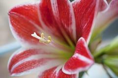 Fleur rouge et blanche - Hippeastrum Images stock