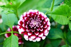 Fleur rouge et blanche pourpre de dahlia images stock
