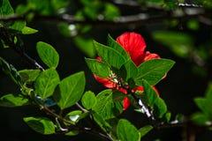 Fleur rouge et feuilles vertes des ketmies chinoises image libre de droits