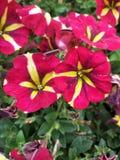 Fleur rouge et jaune photos stock