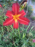 Fleur rouge et jaune Photographie stock libre de droits